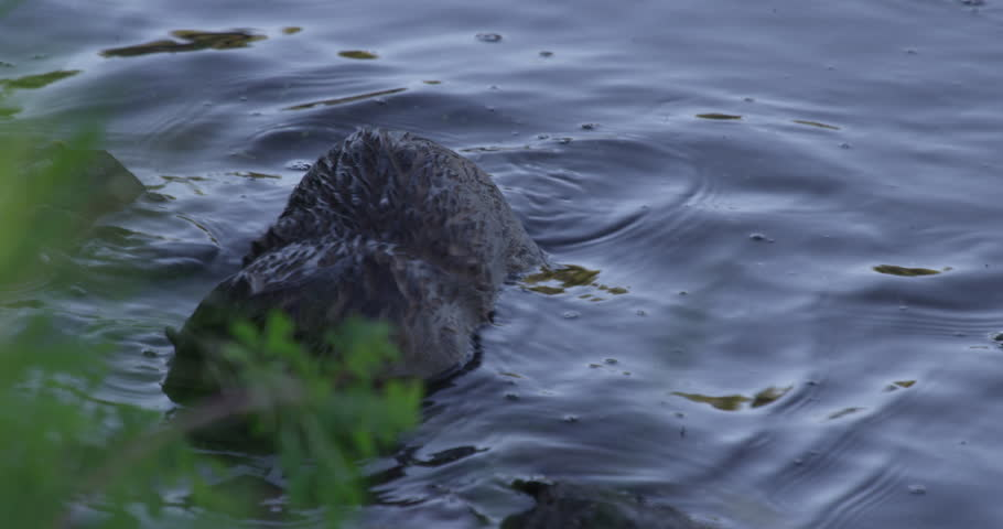 Baby otter plays near shore of pond and swims over to mother eating trout on log - A011 C048 0627FU 001 | Shutterstock HD Video #16888447