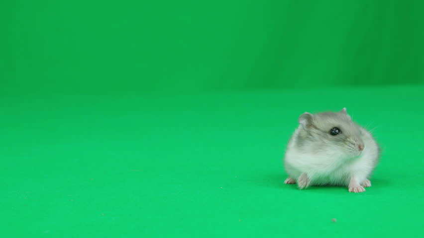 Hamster sitting on a green screen   Shutterstock HD Video #16914964