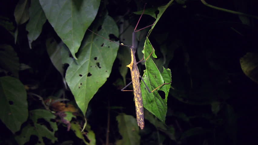 Amazonian stick insect (Pseudophasma bispinosa) | Shutterstock HD Video #1696867