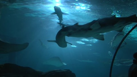 Sharks and Stingrays swimming in large aquarium, low angle