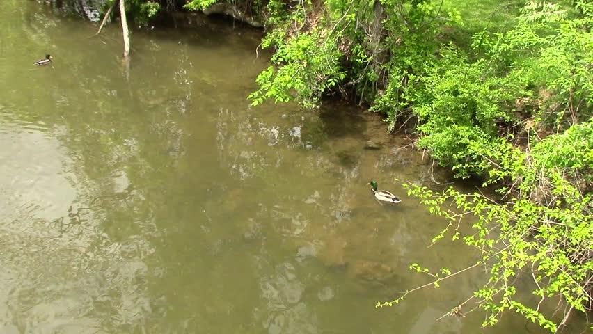 Ducks in stream | Shutterstock HD Video #16997266