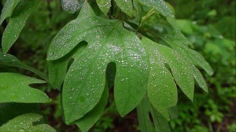 wet sassafras tree leaves