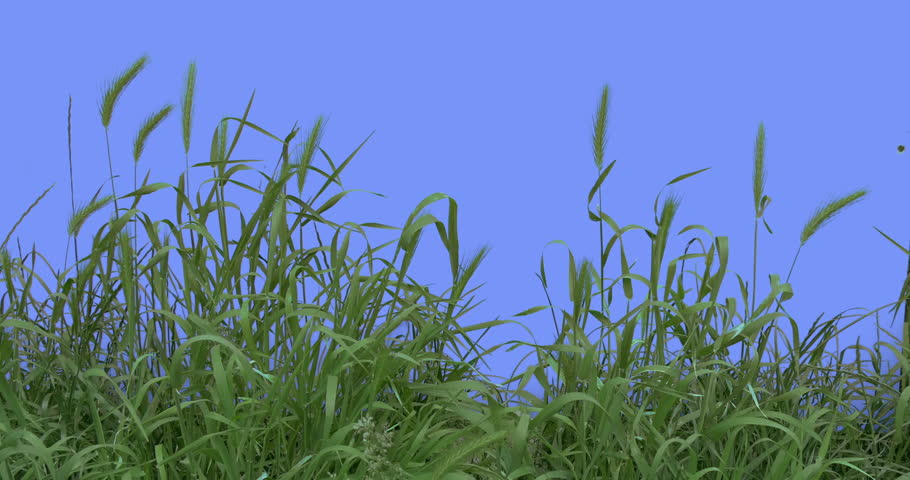 Ears, Spikes, Weeds With Its Green Leaves on a Chroma Key, Alpha, Red Screen, Young Stalks Grow Among Green Grass, Fresh Green Leaves Thin Branch is Fluttering at the Wind, Breeze in Sunny Summer of
