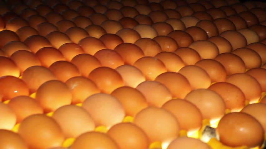 Poultry. Yellow chicken eggs on the conveyor.