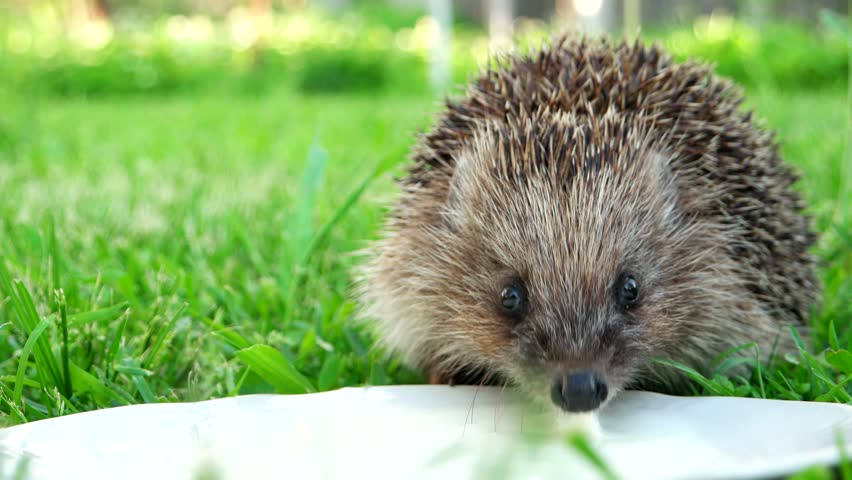 Hedgehog drinks milk with white of plates on glade with grass