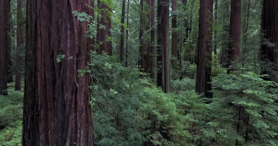 Flying sideways through redwood forest.