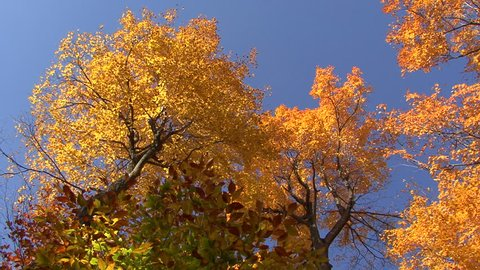 Very low angle of treetops covered in yellowish leaves