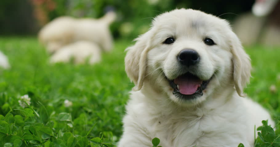 Puppies of golden retriever playing on the grass in a beautiful garden on a sunny day