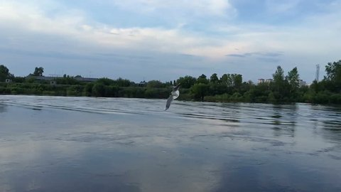 Bird flying over the water, slow motion