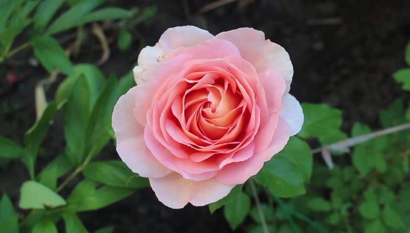 Beauty peach rose in the garden   Shutterstock HD Video #17266918