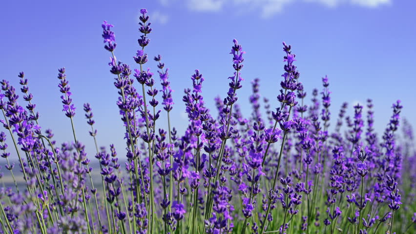 Close Up Of Lavender Flowers Stock Footage Video 100 Royalty