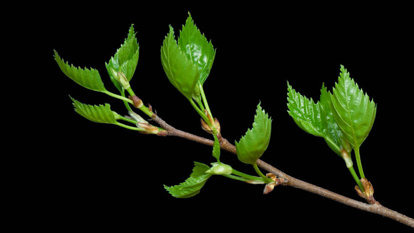 Birch branch blooming. 4k time lapse, with alpha channel (alpha with black background).