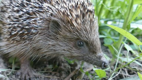 hedgehog in a natural environment