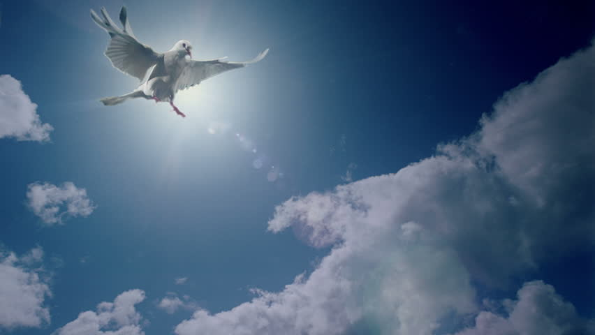 White dove animation. Good for wedding backgrounds or titles.