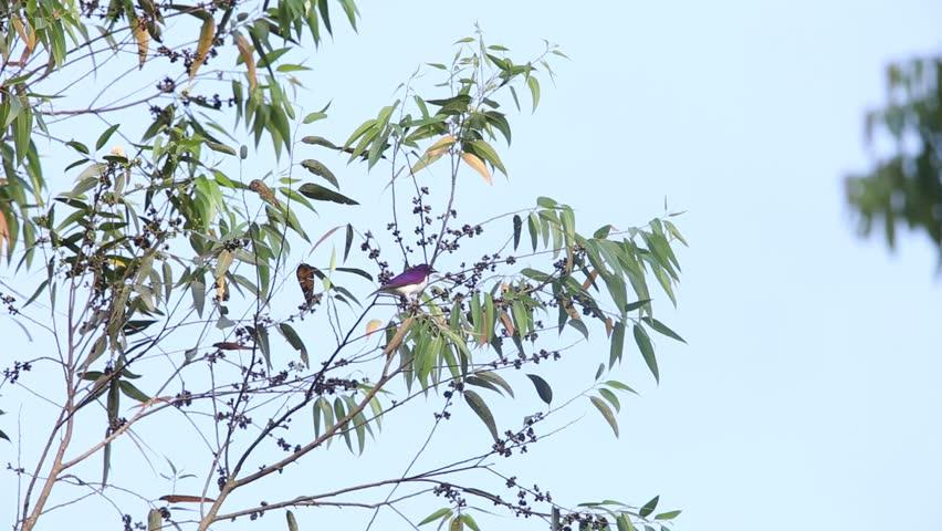 Header of Violet-Backed Starling