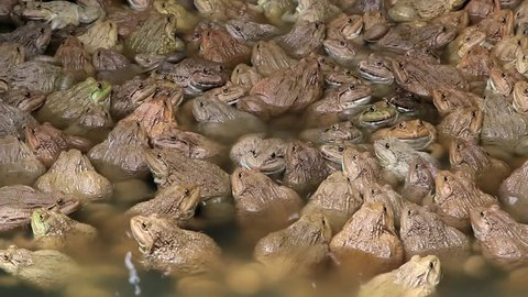 Frogs are amphibians jump as far as a four-legged animal that eats a diet of insects and other small animals can be cultured Sister economy.
