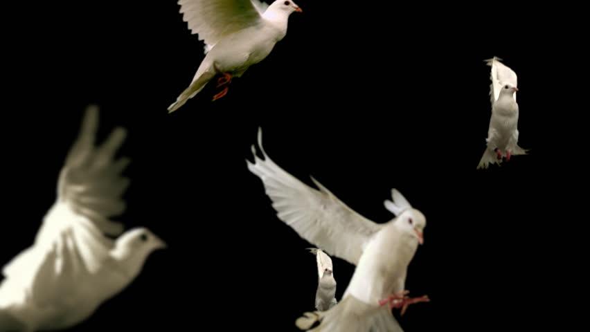 Flock of white doves - alpha matte Slow motion shot on green screen. Good for wedding backgrounds or titles.