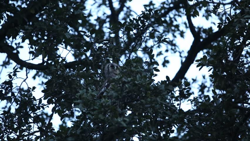 Verreaux's Eagle-Owl (Bubo lacteus) in Volcano National Park, Rwanda | Shutterstock HD Video #17495740