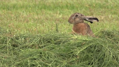 european hare in germany