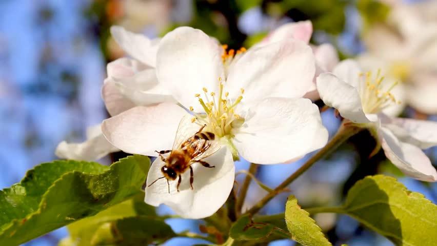 Blossoming tree, beautiful real video, nature flowers, pinch tree, apple tree, pear tree, 4K version, 3840x2160. UHD.