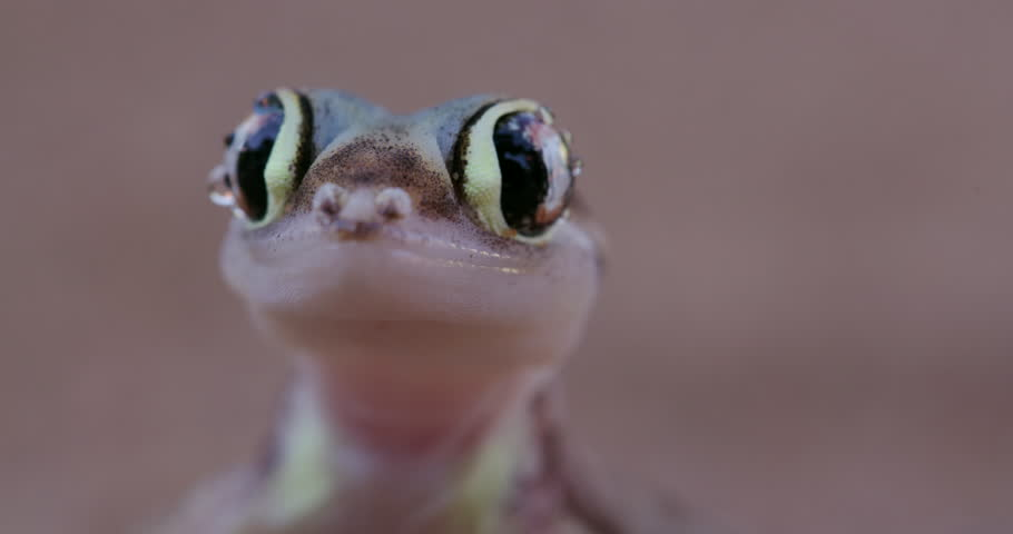 Close-up of funny web footed gecko licking moisture from its eye | Shutterstock HD Video #17560762