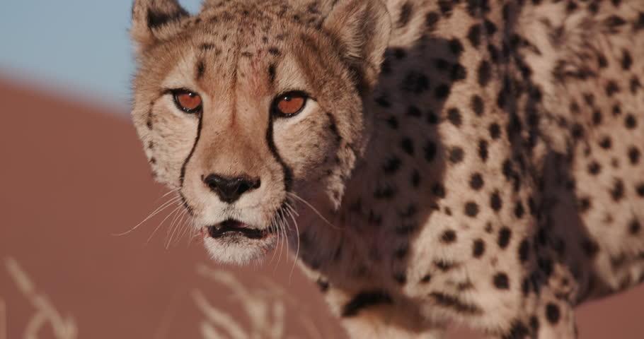 4K Close-up portrait of Cheetah #17561950