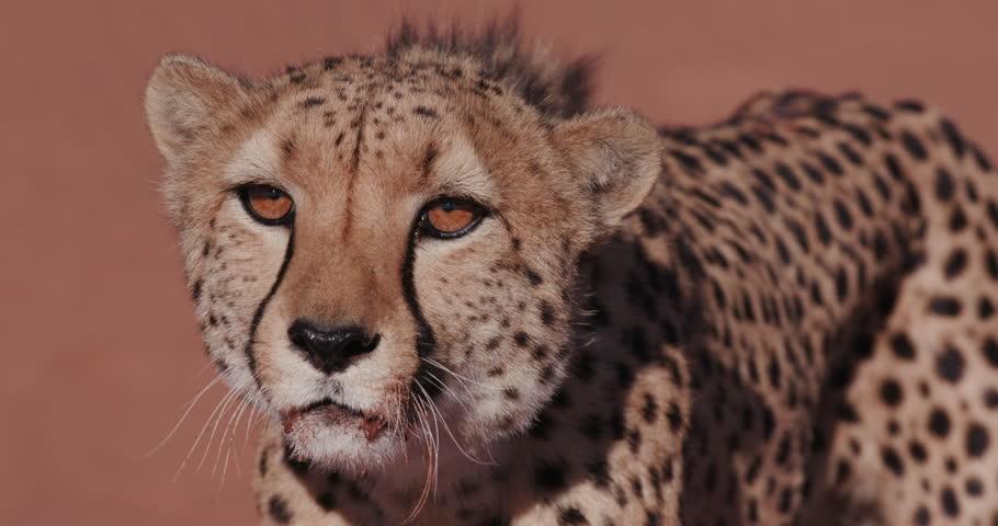 4K Cheetah snarling and looking towards camera. Wildlife of Africa  #17561968
