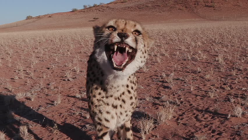 Cheetah snarling and looking towards camera in slow motion #17561974