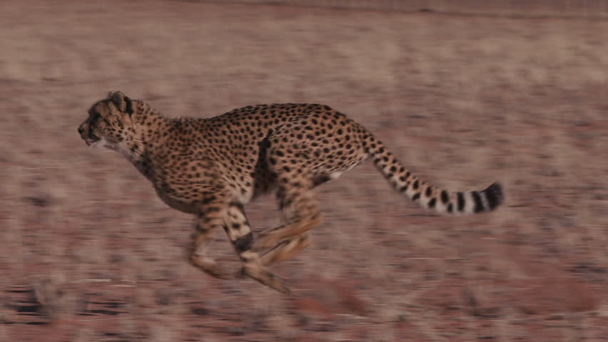Cheetah running side on to camera in slow motion #17561989
