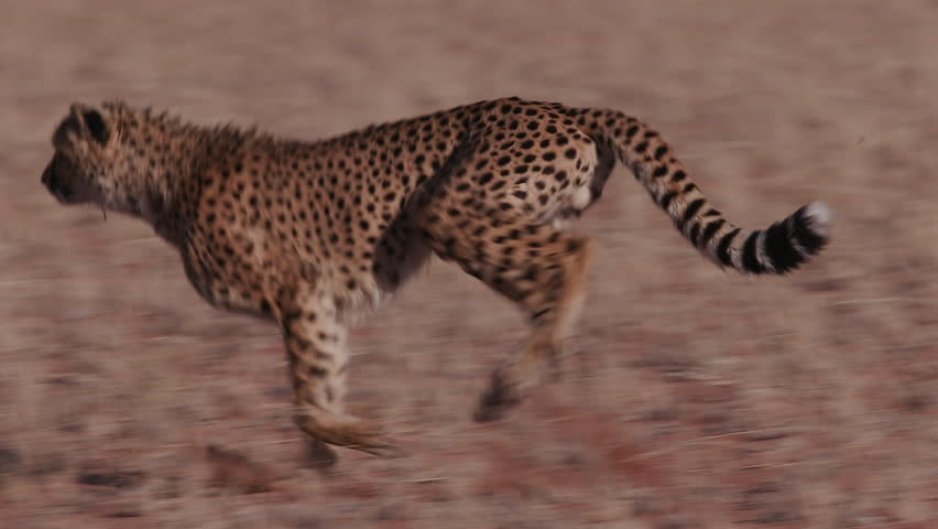 Cheetah running side on to camera in slow motion #17562037