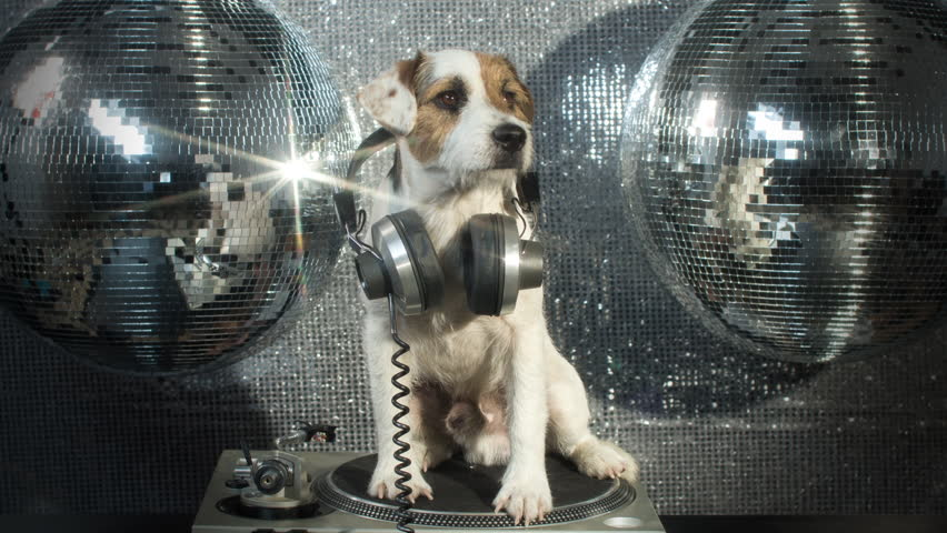dj dog is in the house! an adorable jack russell dog in a club and disco situation