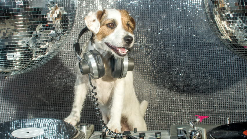 dj dog is in the house! an adorable jack russell dog in a club and disco situation #17565511