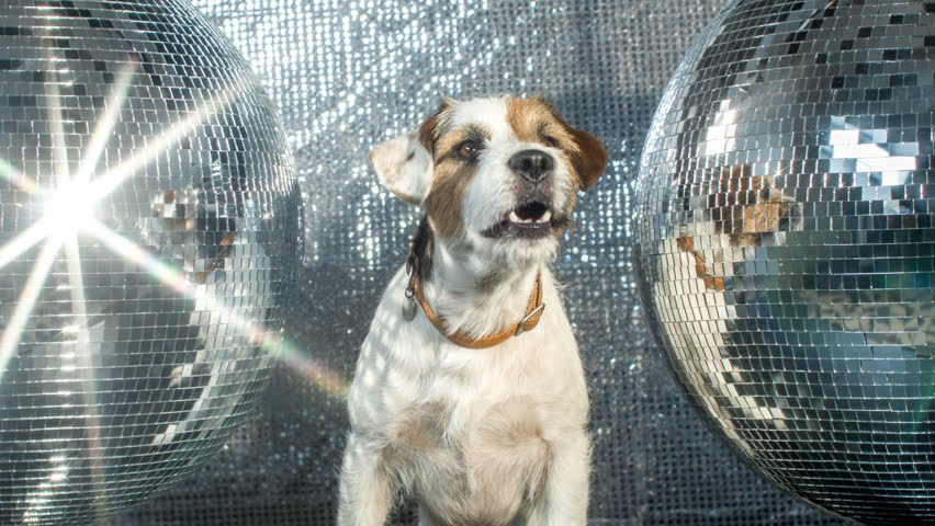 cute jack russell dog with headphones in a disco setting #17565763