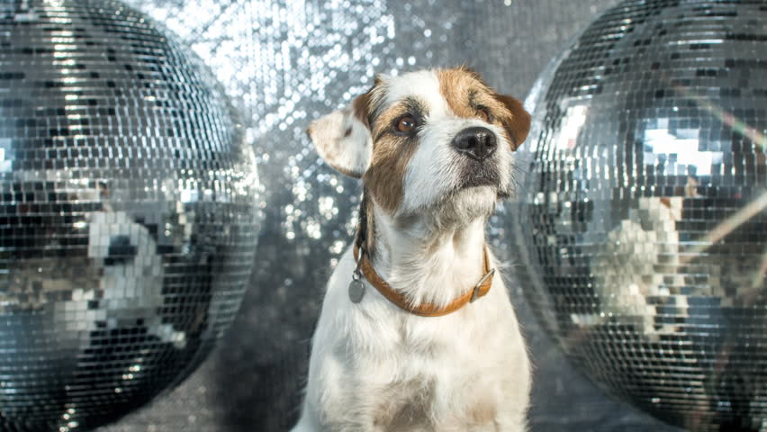 cute jack russell dog in a disco setting #17565952