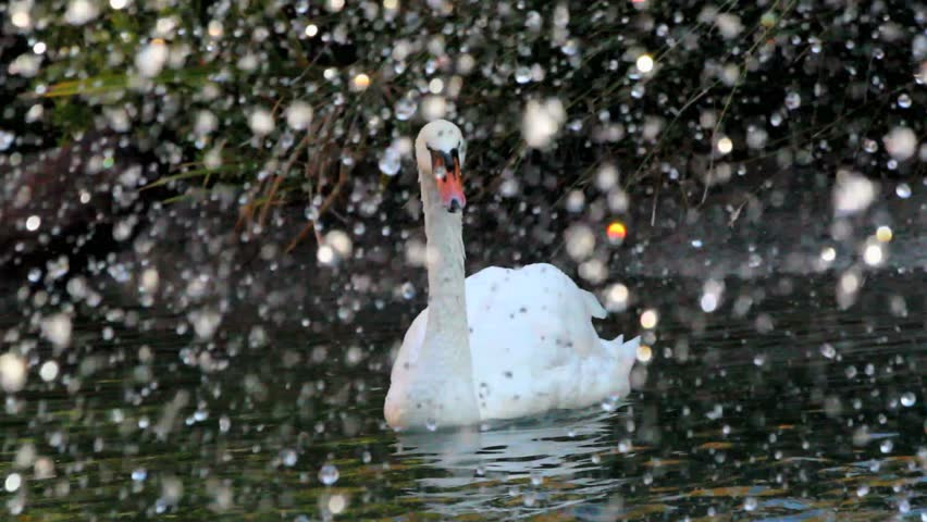Magnificent, graceful swans swim amid falling flakes of water, slowed. 1080p