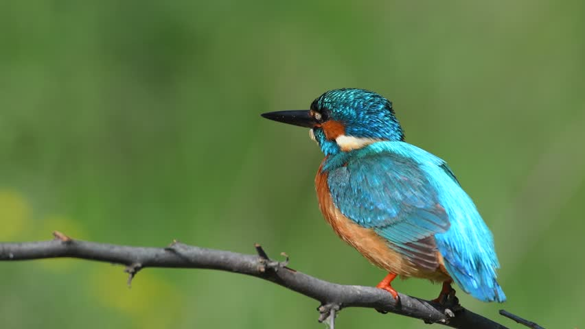4k video with kingfisher sitting on branch (alcedo atthis) | Shutterstock HD Video #17580697