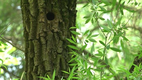 The woodpecker is feeding his chicks