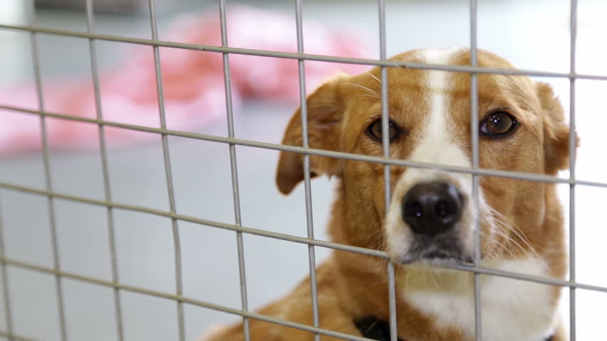 A sad dog in his cage at a animal shelter waiting to be adopted.