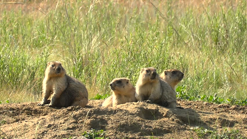Marmots Are Alarmed About Their Burrows. Wild Steppe Summer Sunny Day