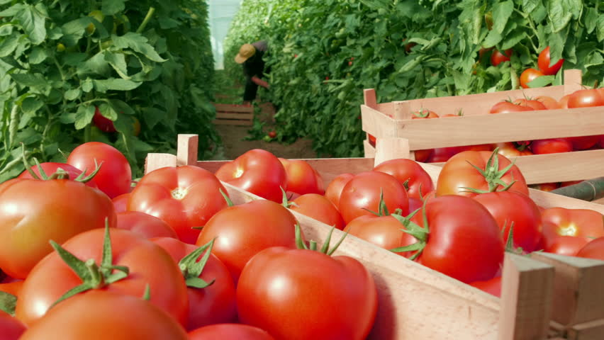 In foreground fresh tomatoes packed in wooden boxes in focus close up, in background blurred female farmer picking crates from the plants in a greenhouse, daylight.