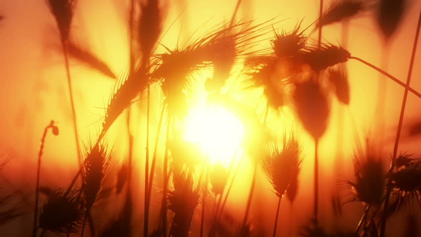 grass filed sunset 4k #17725126