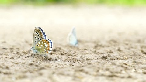 Macro close up of a common blue butterfly standing on the ground. Polyommatus.