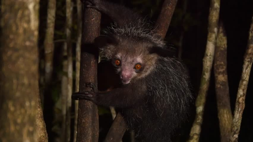 Aye-Aye in tree at night, eats coconut, close
