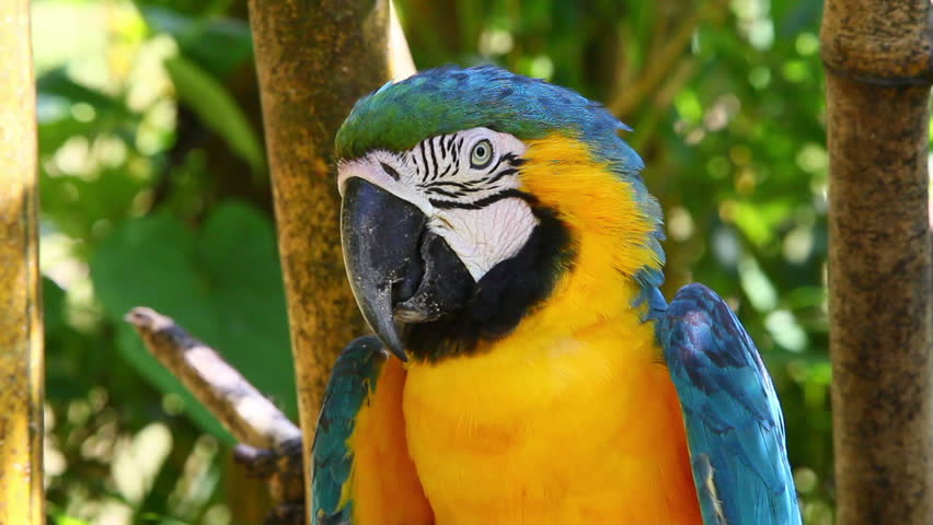 Blue and yellow macaw resting on a branch in Ecuadorian Amazonia, shot in the wild
