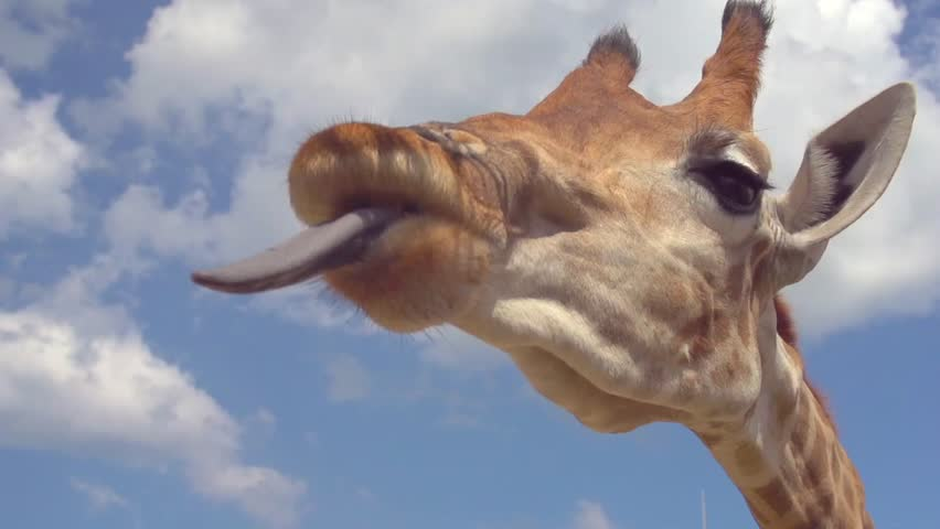 Giraffe eating. Close up shot of giraffe head on the blue sky background. Feeding Giraffe With Brunches And Green Leaves In Zoo. Slow motion 240 fps. High speed camera. Full HD 1080p video footage #17798866