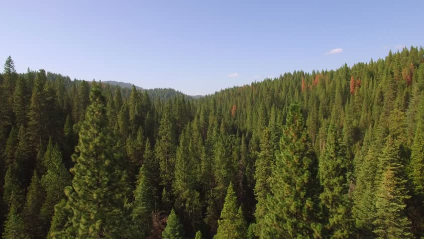 Low flying aerial shot in the Sierra National forest in California, just above and through the treetops. Lush green trees and blue sky during Summer.