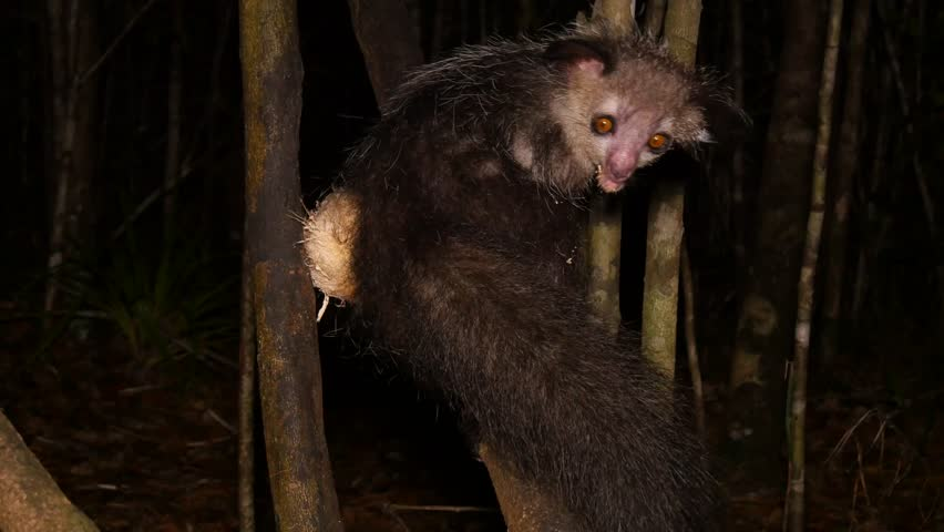 aye-aye in tree at night scrapes out coconut using long finger, close