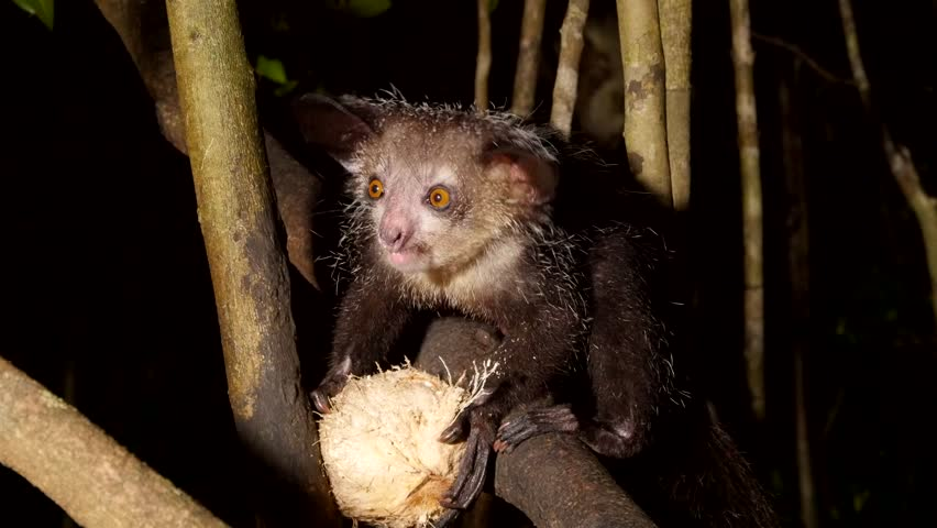 aye-aye in tree at night scrapes out coconut using long finger, closeup