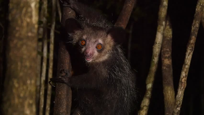 Aye-Aye in tree at night looks around, close