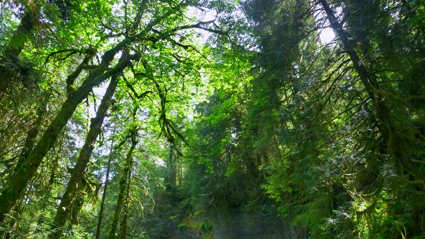 4K Tall Rain Forest Tree Canopy, Nature Environment, Beautiful Green Scenery | Shutterstock HD Video #17820142